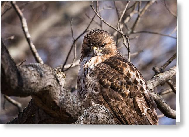Red-tail Hawk Stare Greeting Card by Jeff Sinon