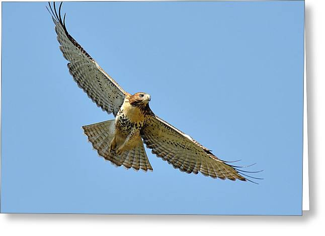 Red Tail In Flight Greeting Card by Angel Cher
