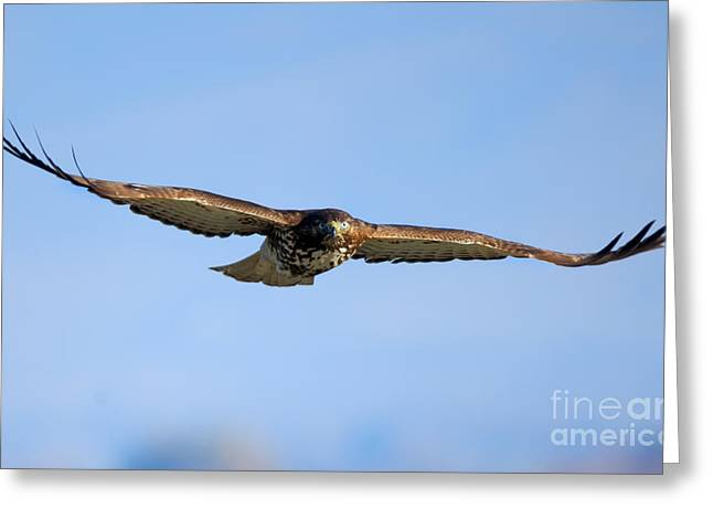 Red -tail Stare Greeting Card by Mike Dawson
