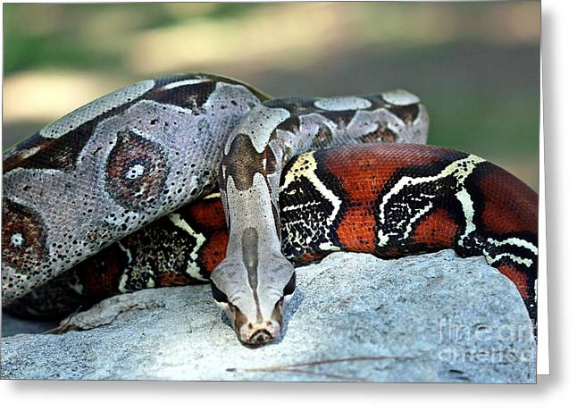 Red Tailed Boa Basking On A Rock Greeting Card