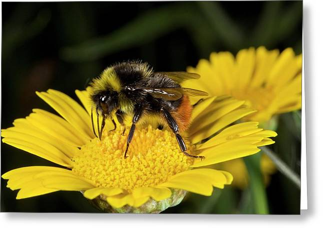 Red-tailed Bumblebee Feeding On A Flower Greeting Card by Bob Gibbons