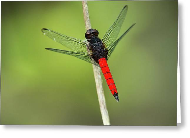 Red-tailed Dragonfly, Odzala, Kokoua Greeting Card
