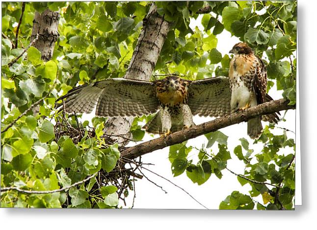 Red-tailed Fledges Greeting Card by Jill Bell