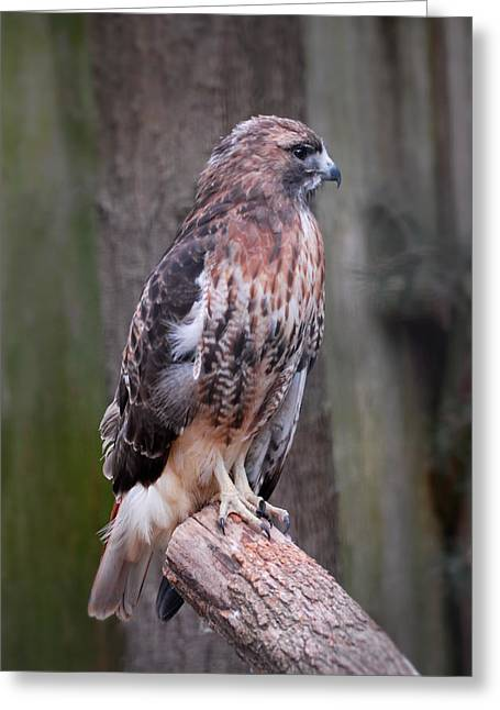 Red Tailed Hawk 290 Greeting Card