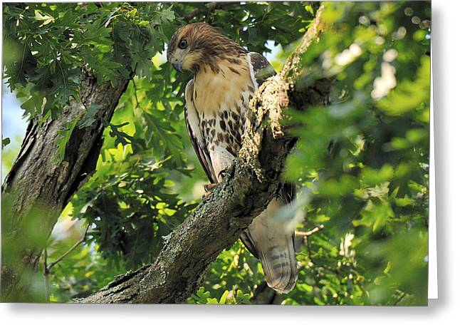 Red Tailed Hawk Greeting Card by Angel Cher
