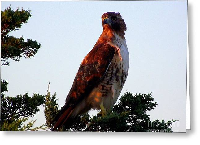 Red-tailed Hawk  Greeting Card by CapeScapes Fine Art Photography
