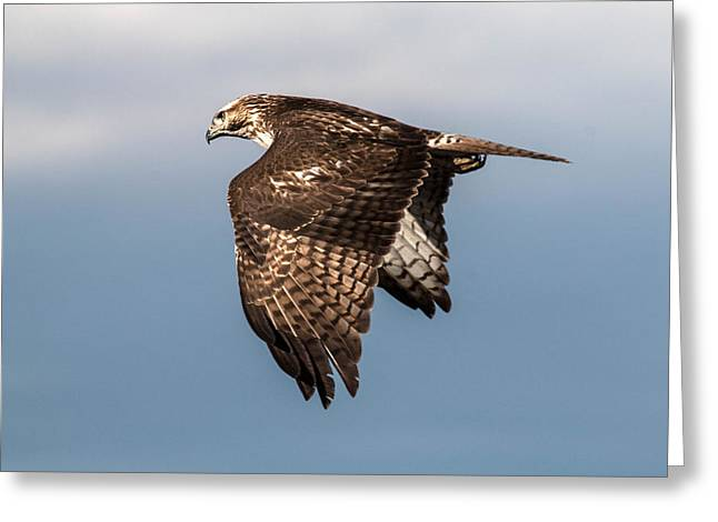 Red-tailed Hawk  Flyby Greeting Card
