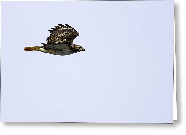 Red-tailed Hawk In Flight 1 Greeting Card