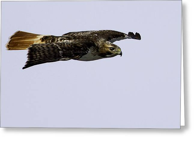 Red-tailed Hawk In Flight 2 Greeting Card