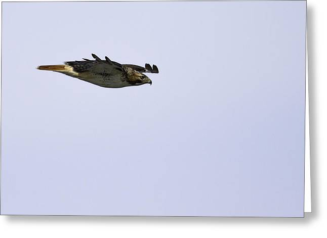 Red-tailed Hawk In Flight 3 Greeting Card