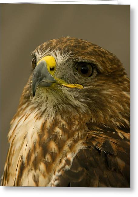 I'm So Proud - Red Tailed Hawk Greeting Card by Jacqi Elmslie