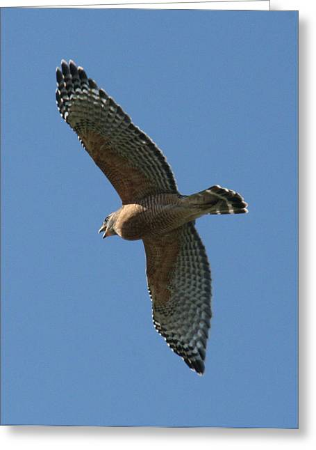 Red Tailed Hawk Greeting Card by Jeff Wright
