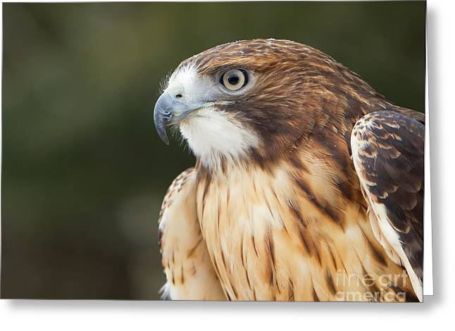 Red Tailed Hawk  Greeting Card by Joshua Clark