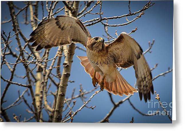 Red Tailed Hawk Greeting Card by Julie Palencia