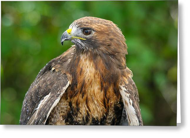 Red-tailed Hawk Close-up Greeting Card