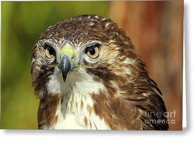 Red Tailed Hawk Greeting Card by Lisa L Silva