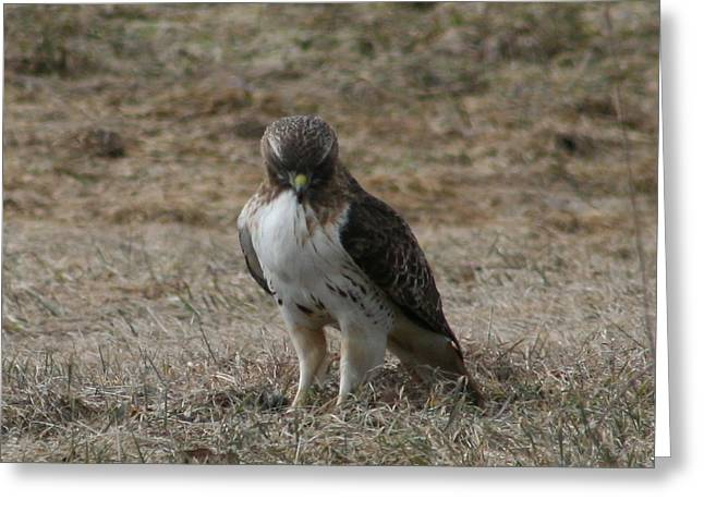 Red Tailed Hawk Greeting Card by Neal Eslinger