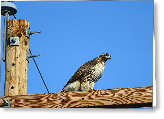 Red-tailed Hawk On A Power Pole Greeting Card by Eric Nielsen