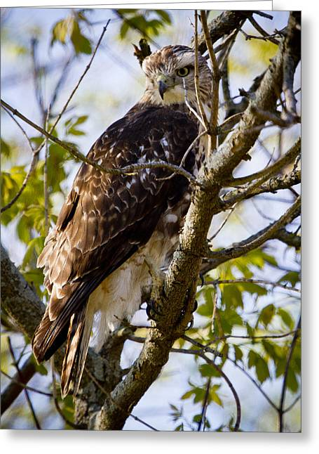 Greeting Card featuring the photograph Red Tailed-hawk by Ricky L Jones