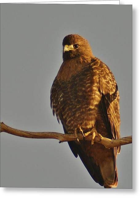 Red-tailed Hawk Rufous-morphed Greeting Card by Sara Edens
