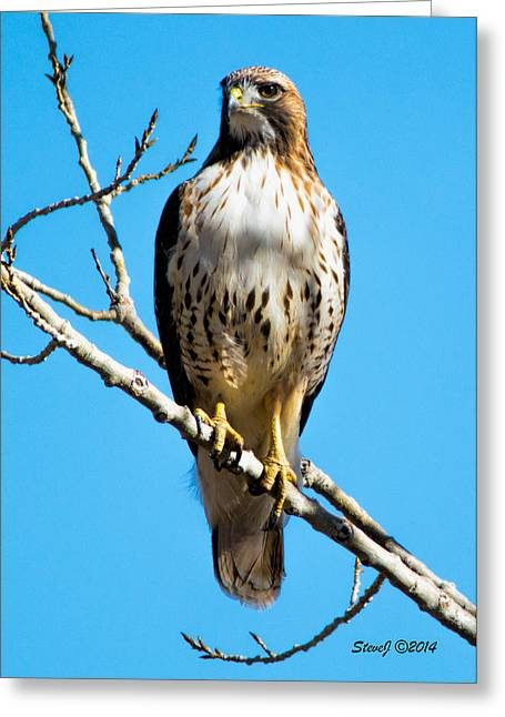 Red Tailed Hawk Standing Tall Greeting Card by Stephen  Johnson