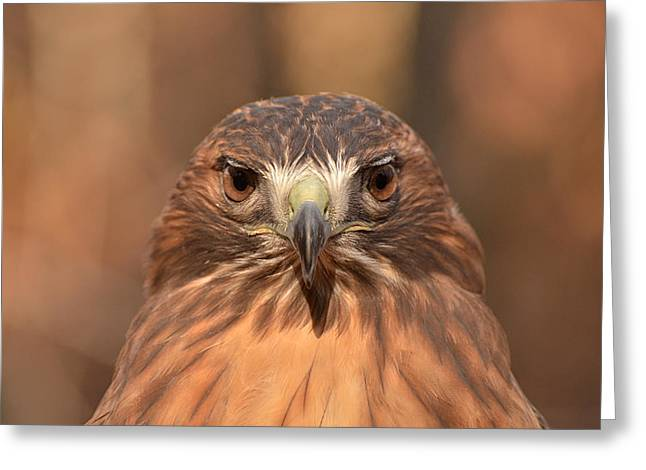 Red-tailed Hawk Stare Greeting Card