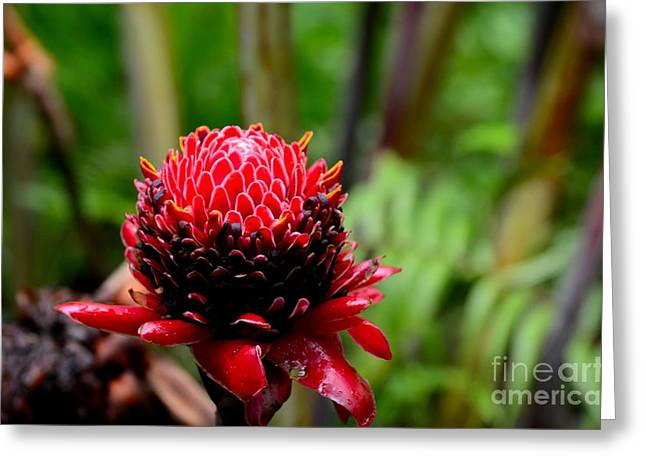 Red Torch Ginger Flower From Tropics Greeting Card