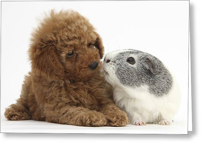 Red Toy Poodle Puppy And Guinea Pig Greeting Card