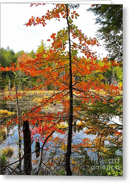Red Tree At Waters Edge Greeting Card by Linda Marcille