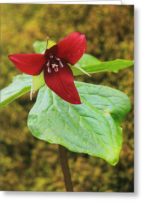 Red Trillium And Mossy Log Greeting Card by John Burk