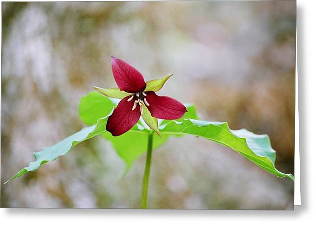 Greeting Card featuring the photograph Red Trillium by David Porteus