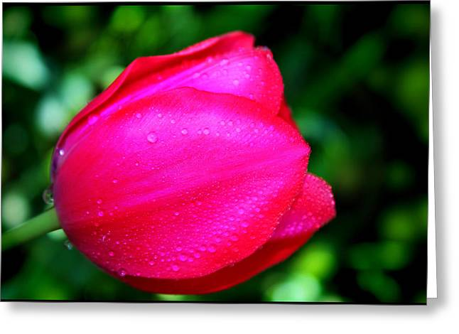 Red Tulip After The Rain Greeting Card by Aya Murrells