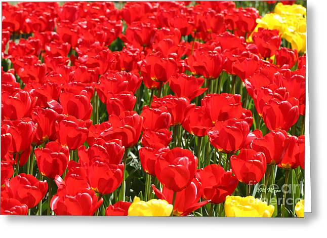 Red Tulip Field Greeting Card by Tap On Photo