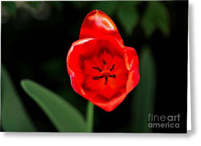 Red Tulip  Greeting Card by Jay Nodianos