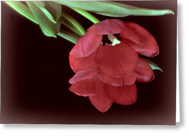 Red Tulip On Burgundy Greeting Card