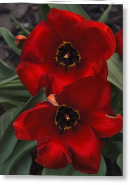 Red Tulip Pair Greeting Card