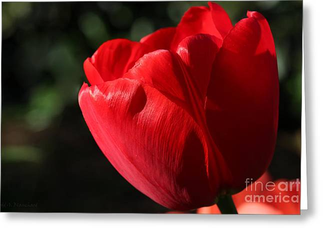 Greeting Card featuring the photograph Red Tulip by Todd Blanchard