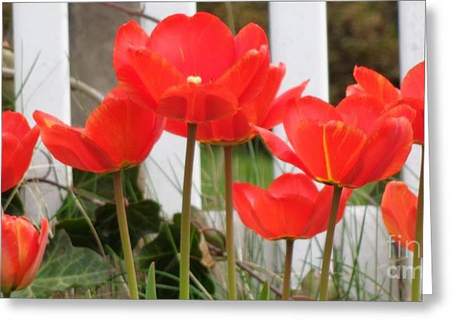 Greeting Card featuring the photograph Red Tulips At Fence by Christina Verdgeline