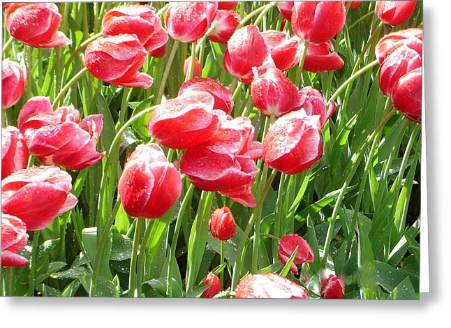Red Tulips Dew Song Greeting Card