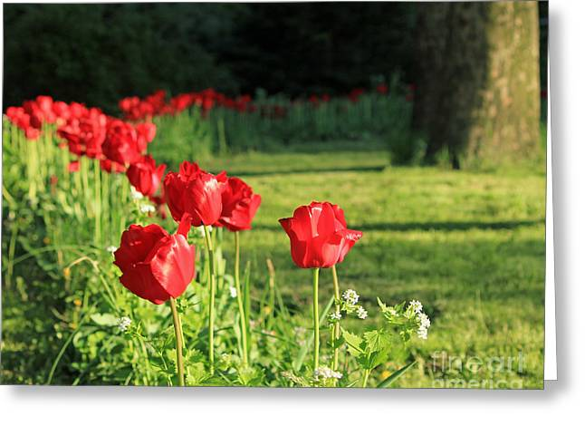 Greeting Card featuring the photograph Red Tulips by Jose Oquendo