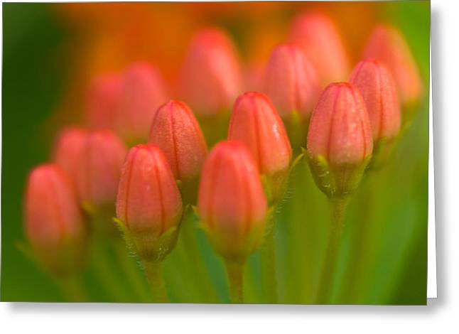 Red Tulips Greeting Card by Sebastian Musial