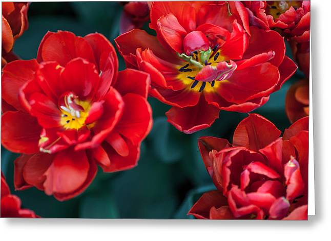 Red Tulips. The Tulips Of Holland Greeting Card by Jenny Rainbow