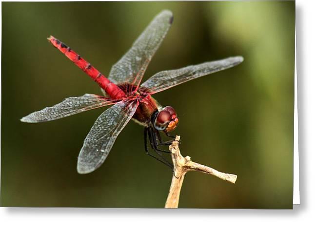 Red-veined Darter  - My Joystick Greeting Card by Ramabhadran Thirupattur