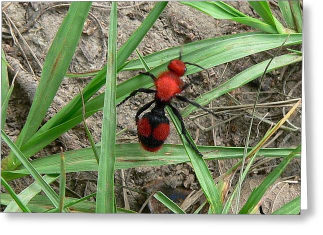 Red Velvet Ant Greeting Card