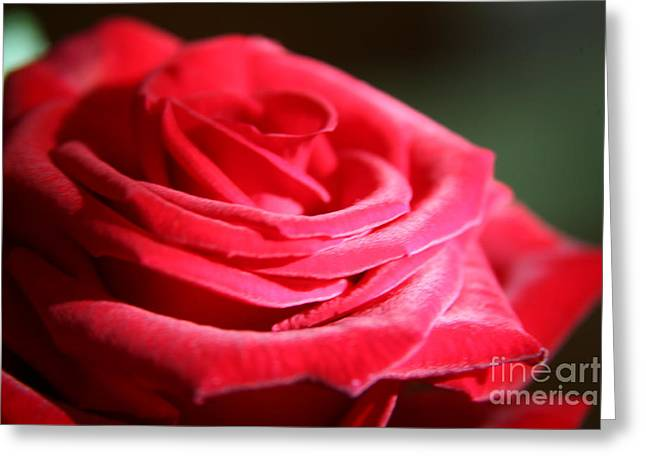 Red Velvet Rose By Morning Light  Greeting Card by Lynn England