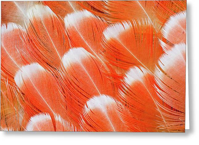 Red Vent Cockatoo Rump Feathers Greeting Card by Darrell Gulin