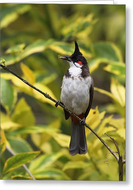 Red Whiskered Bulbul Greeting Card