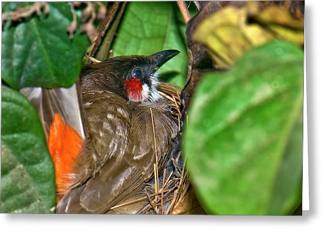 Red-whiskered Bulbul On Nest Greeting Card