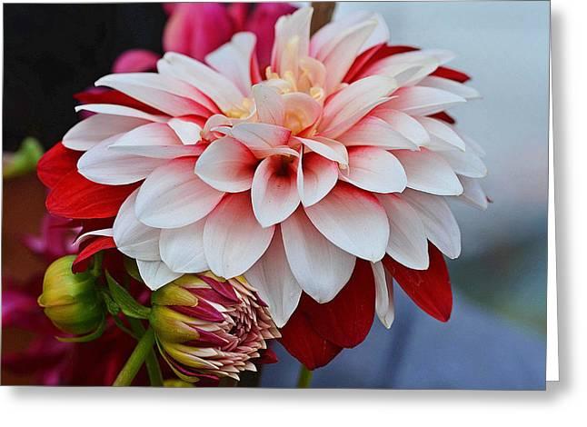 Red White Chrysentimum Flower Greeting Card by Johnson Moya