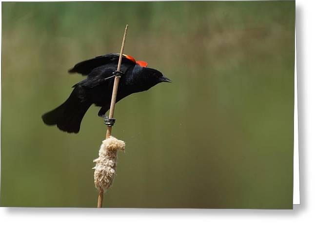 Red Winged Blackbird 3 Greeting Card by Ernie Echols